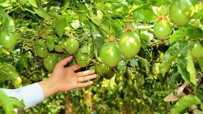 """Nhiều cá nhân """"đồng cam"""" cùng """"bầu"""" Đức trồng cây ăn trái. (Ảnh: Internet)"""