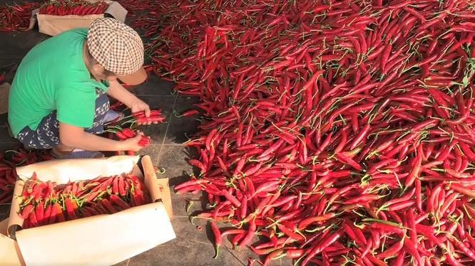 THILOGI hỗ trợ xuất khẩu ớt cho nông dân miền Trung