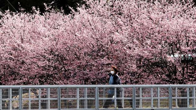 Hoa anh đào đang nở rộ, đẹp lộng lẫy ở Tokyo, Nhật Bản (Ảnh: Getty Images)
