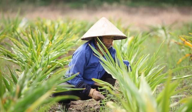 Người dân trồng dược liệu (Nguồn: Internet)