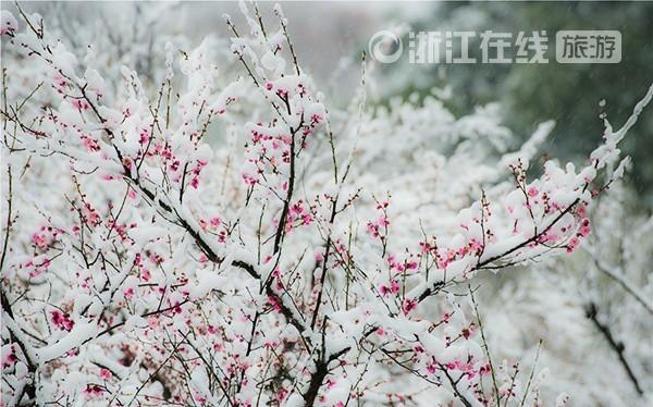 Màu hồng của hoa đào vừa chớm nở nổi bật trên màu trắng của tuyết. Ảnh: ZhejiangOnline.