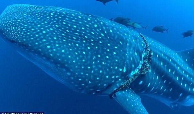 Con cá mập voi bơi ngoài khơi đảo Socorro với chiếc dây thiết chặt quanh cơ thể.