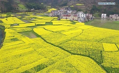 Cánh đồng hoa cải dầu ở tỉnh Hồ Bắc đang nở rộ trong những ngày gần đây – Ảnh Xinhua.