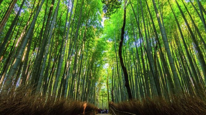 Rừng tre Sagano ở Nhật Bản