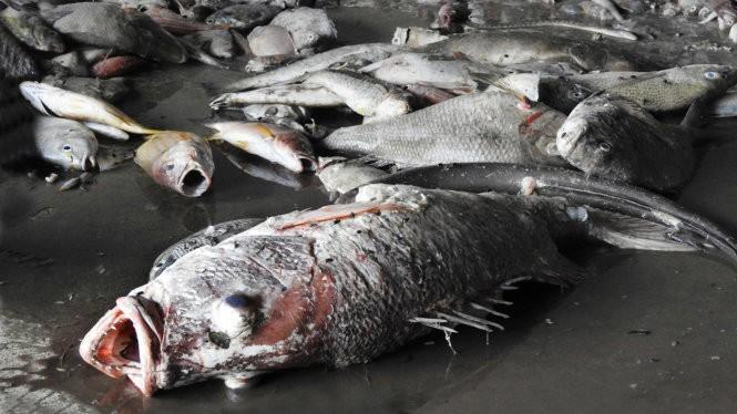 Hàng tấn cá chết không rõ nguyên nhân trôi dạt vào vùng biển Quảng Trị - Ảnh: Trần Tĩnh