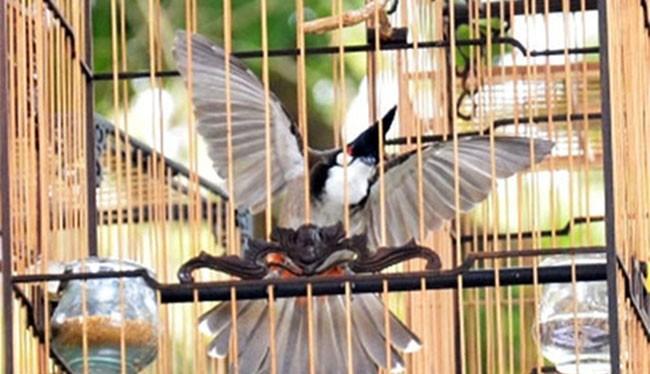 Ba con chim chào mào cùng 3 chiếc lồng chim bị mất trộm của ông Lê Phước Hoài Bảo, Giám đốc Sở KHĐT Quảng Nam được Cơ quan Công an và VKSND TP Tam Kỳ định giá 10,2 triệu đồng