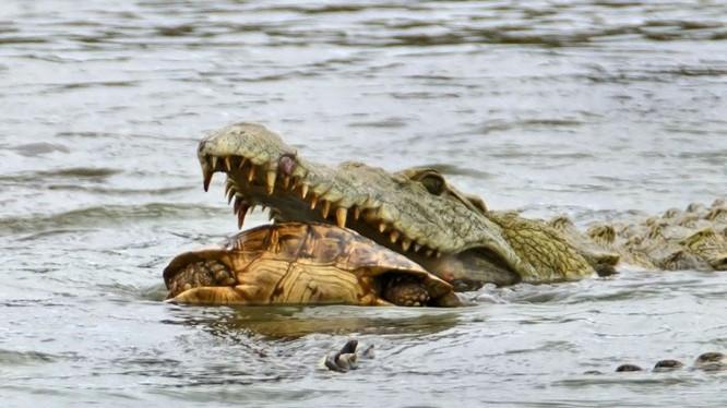 Hài hước cảnh cá sấu nuốt chửng rùa bất thành