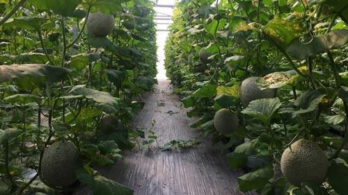 Trồng dưa lưới bằng hệ thống Smart Agri tại Khu Nông nghiệp công nghệ cao TP HCM đem lại hiệu quả cao (Ảnh: QTSC cung cấp)