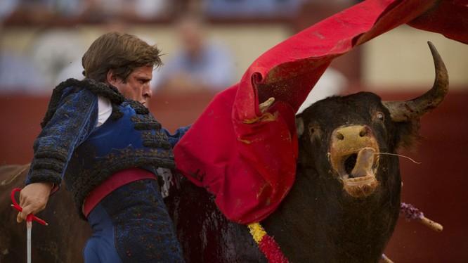Dũng sĩ đấu bò Tây Ban Nha Julian Lopez El Julie trong một trận đấu.