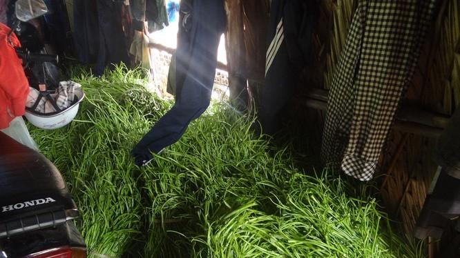 Số hoá chất dùng trong việc nhuộm, in quần áo được cho vào ngâm rau muống rau muống tươi xanh hơn.