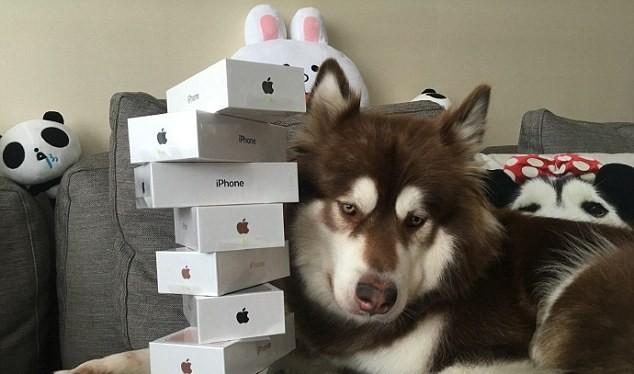 Bức ảnh này được chụp đúng vào ngày iPhone 7 ra mắt tại Trung Quốc, cô chó Coco bên cạnh 8 chiếc iPhone ông chủ mua để... lấy lòng