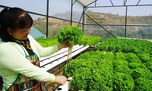 Trồng xà lách thủy canh thành công ở Trang trại Kim Bằng, Đà Lạt. Ảnh minh hoạ: Internet
