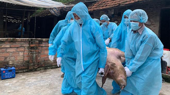 Xử lý lợn nhiễm dịch tả lợn châu Phi tại xã Hoàng Diệu (huyện Chương Mỹ, Hà Nội) trong ngày 10/5. Ảnh: thanhnien.vn