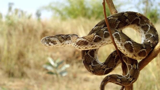 Rắn lục hoa cân, một trong hai loài rắn có nọc độc nguy hiểm nhất hiện nay (Ảnh: Pinterest)