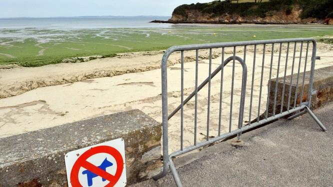 """Loài tảo """"sát thủ"""" phủ kín một số bãi biển của vùng Brittany, Pháp (Ảnh: RT)"""