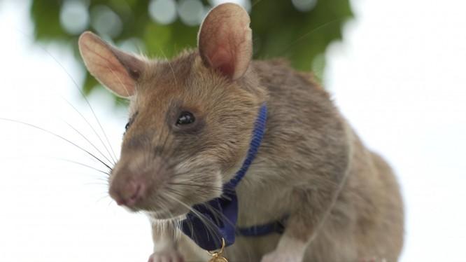 Chú chuột Magawa nhận tấm huy chương danh giá (Ảnh: PDSA)