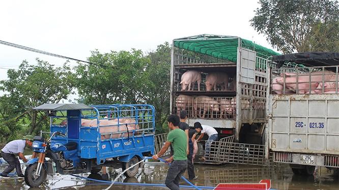 Một góc Chợ đầu mối lợn lớn nhất miền Bắc