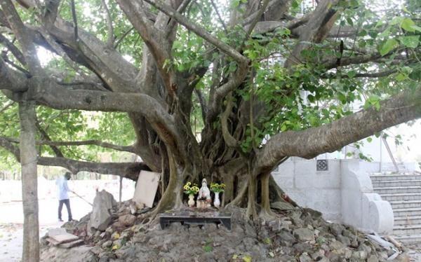 Cây bồ đề cao khoảng 25 mét, cành lá xum xuê, tán rộng với nhiều nhánh to lớn.