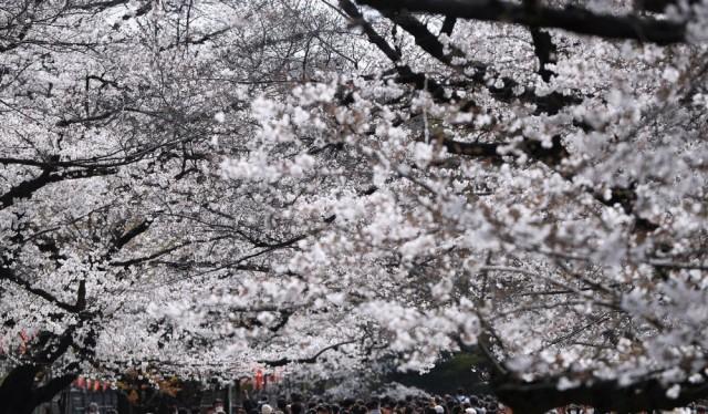 """Những đám đông """"Covidiots"""" tụ tập ngắm hoa anh đào tại Nhật Bản vào tháng 3 bất chấp dịch bệnh đang leo thang. Ảnh: Issei Kato/Reuters."""