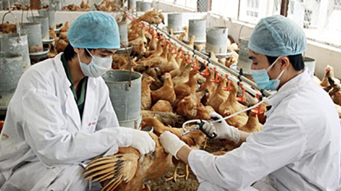 WHO, FAO cảnh báo Việt Nam về virus cúm A (H5N8) lần đầu tiên lây từ gia cầm sang người (Ảnh minh hoạ)