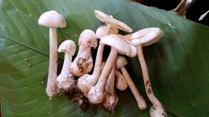 Cây nấm độc mà gia đình 4 người ăn trong bữa trưa (Ảnh - BVCC)