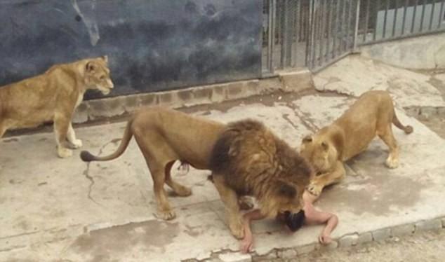 Nhảy vào chuồng Chúa Sơn Lâm để tự tử, người không chết nhưng sư tử chết