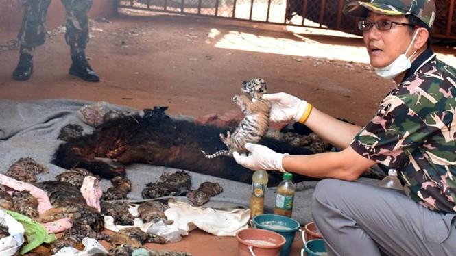 Công tác điều tra về nguyên nhân ngôi đền giữ 40 xác hổ con vẫn đang được tiến hành