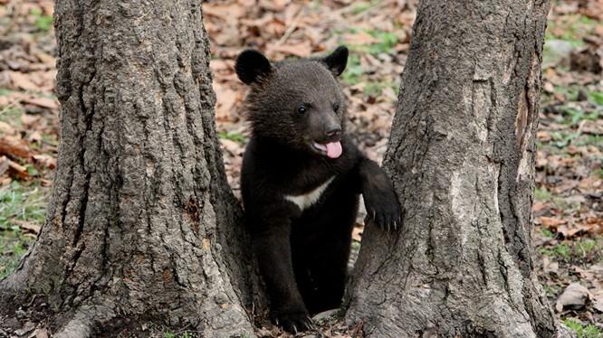 Báo Nga: Một con gấu nhỏ đe dọa cả 3000 quân Phần Lan