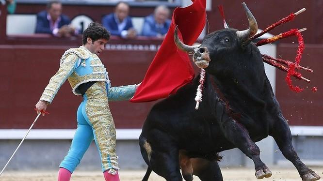 Đang truyền hình trực tiếp, đấu sỹ Tây Ban Nha bị bò tót húc chết (ảnh minh họa)