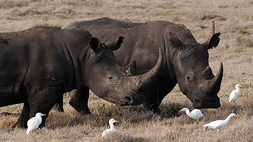 Cứu tê giác đen có nguy cơ tuyệt chủng cao bằng công nghệ hiện đại. Ảnh: Internet