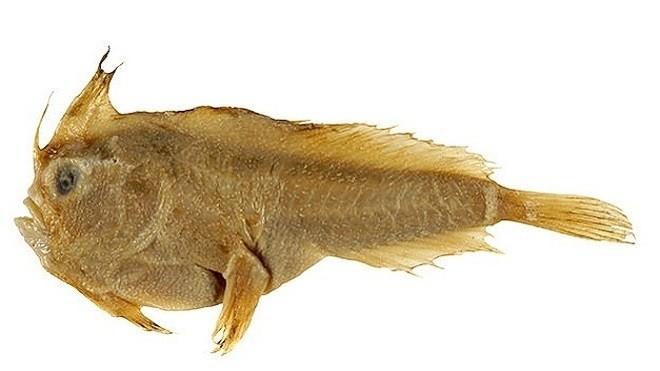 Mẫu vật cá tay trơn ở bảo tàng. Ảnh: Flickr.