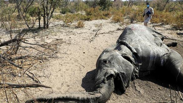 Hơn 350 con voi chết hàng loạt ở Botswana. Ảnh: REUTERS