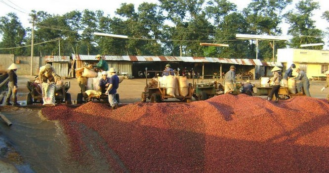 Cà phê Việt Nam xuất khẩu vào Ả Rập Xê Út bị phát hiện nhiễm hóa chất