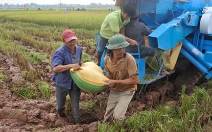 Thu hoạch lúa tại cánh đồng mẫu lớn huyện Chương Mỹ