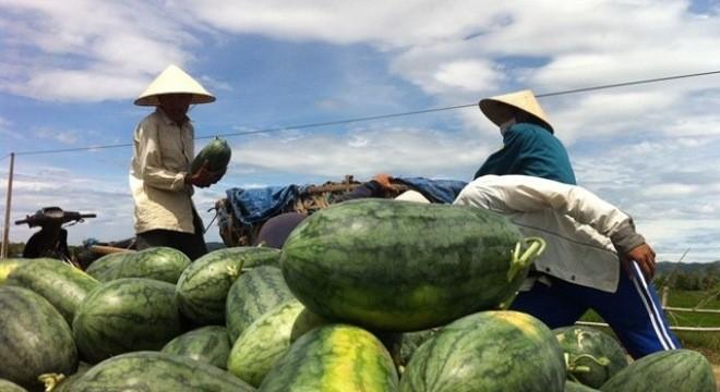 Gần 80% lượng dưa hấu đã được tiêu thụ