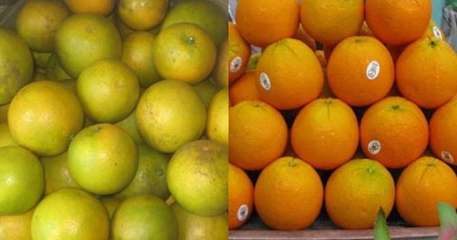 Phân biệt cam Trung Quốc với cam Vinh: Cam Vinh (trái) và cam Trung Quốc (phải)