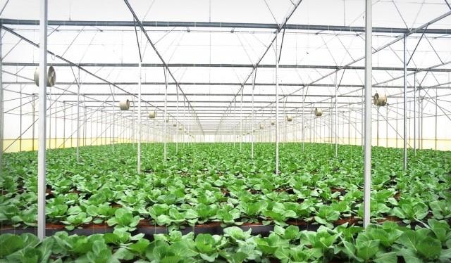 Cánh đồng rau sạch 500 ha của tỷ phú Phạm Nhật Vượng