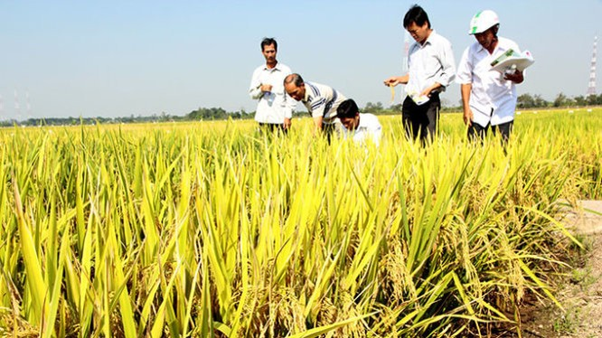 Tám doanh nghiệp mua lúa trực tiếp với các hợp tác xã và nông dân trên diện tích 9.500ha