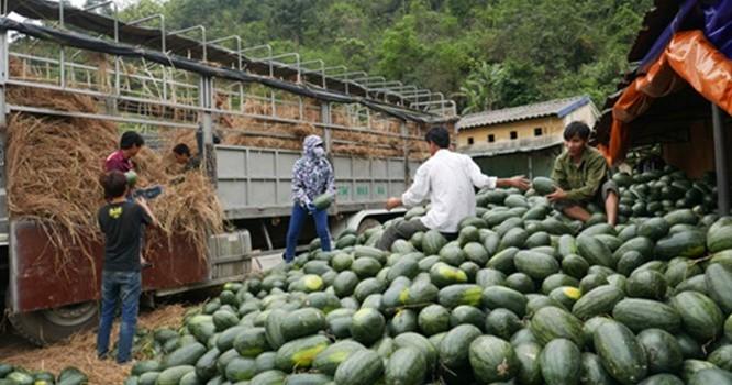 Hơn chục thương lái Trung Quốc chi phối dưa hấu Việt Nam