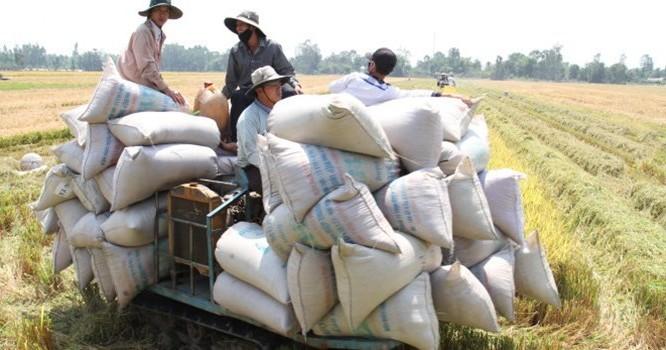 Thu hoạch lúa hè thu ở Giồng Riềng, Kiên Giang