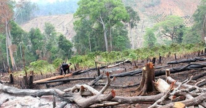 Rừng được DN thuê trong một dự án ở Đắk Nông bị chặt phá
