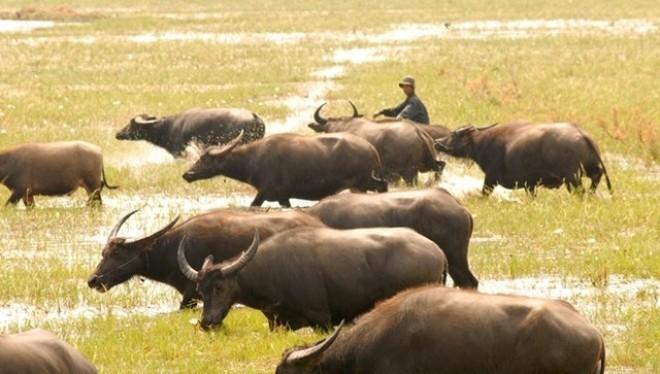 Nhập khẩu trên 115.000 con trâu bò