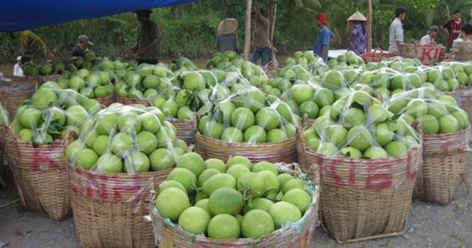 Vào mùa thu hoạch rộ là trái cây ở ĐBSCL liên tục rớt giá