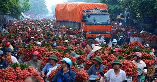 Vải thiều Lục Ngạn - Bắc Giang ùn ứ vào tháng 6/2014 khiến không ít nông dân trồng vải lao đao