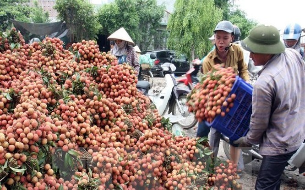 Việc mở rộng thị trường tiêu thụ vải sang các nước sẽ giúp giá vải ổn định hơn. Trong ảnh: thu hoạch vải tại Lục Ngạn, Bắc Giang