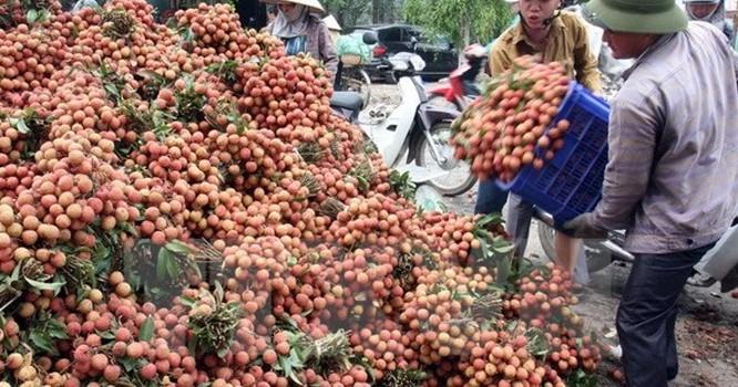 Tập kết, vận chuyển vải đi tiêu thụ ở huyện Thanh Hà (Hải Dương)