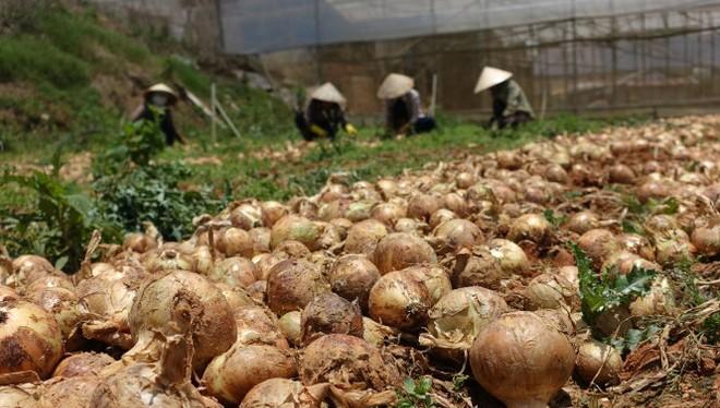 Nông dân Đà Lạt đổ bỏ hành tây vào tháng 4-2015 vì giá hành xuống thấp, chi phí vận chuyển đi bán không bù được chi phí thu hoạch