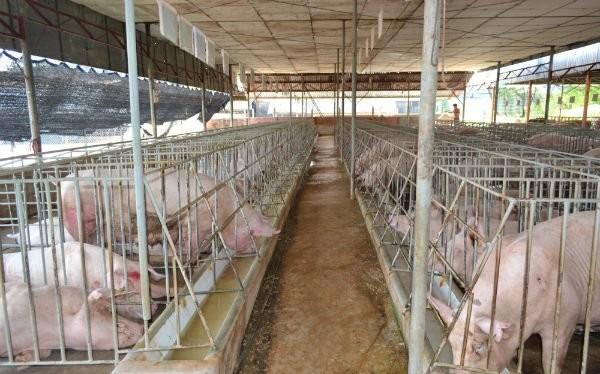 Heo được nuôi ở một trang trại ở Đồng Nai.