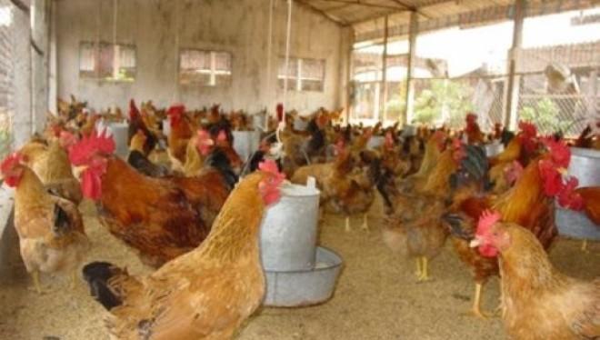 Chính thức bỏ 14 loại phí trên gà