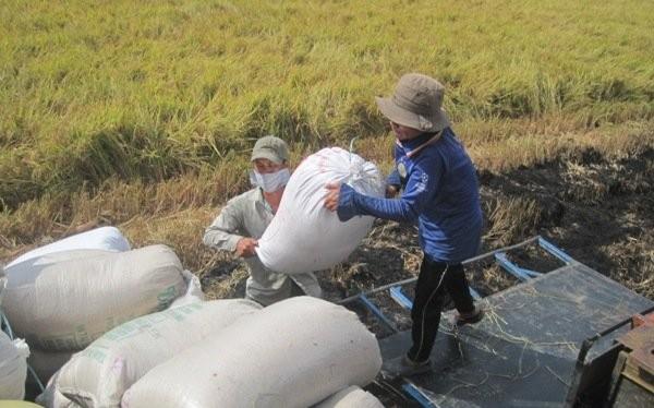Hợp đồng xuất khẩu gạo đã ký đến cuối tháng 7-2015 đạt hơn 4,4 triệu tấn. Trong ảnh là nông dân Tiền Giang đang thu hoạch lúa.